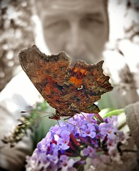 Butterfly on Buddleja (vojis) Tags: plant flower butterfly garden vrt buddleja cvet leptir budleja