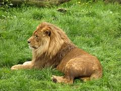 Lion / Leeuw (Rick & Bart) Tags: cat zoo kat bokeh lion dierentuin leeuw olmen pantheraleo olmensezoo botg rickbart itsazoooutthere rickvink