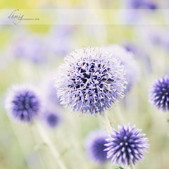 Purple fireworks (dhmig) Tags: flowers flower green nature colors beauty closeup germany nikon energy colours purple fireworks bokeh outdoor violet happiness dreamy pois koblenz alium openspaces 50mmf28 fragility pastelcolors roundshape buga2011 nikond7000 dhmig dhmigphotography