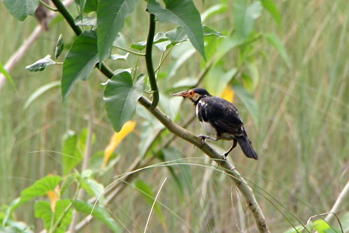 AsianPiedStarling