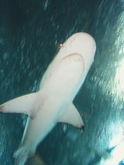 (GenkiGenki) Tags: fish motion water aquarium shark singapore 28mm sentosa ricoh a12 underwaterworld gxr