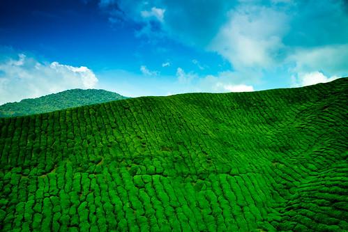 フリー写真素材|自然・風景|田畑・農場|マレーシア|グリーン|