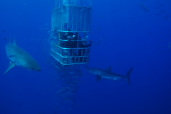 DSC_0397 (DiLyBe) Tags: white mexico island shark explorer great scuba diving cage guadalupe isla nautilus