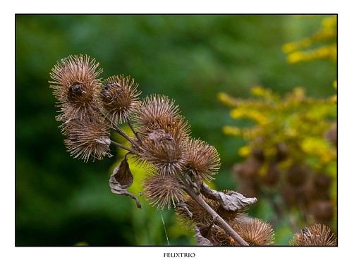 Burdock by felixtrio