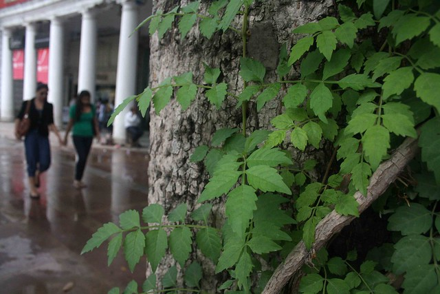 City Nature - Semal Tree, Connaught Place