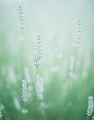 *lavender (fangchun15) Tags: flower 120 film nature japan kodak 6x7 群馬 薰衣草 ラベンダー portra400 pentax67 たんばらラベンダーパーク