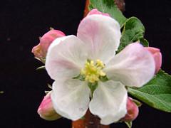 P.18 Blossom