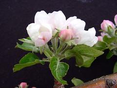 P.18 Flower Cluster