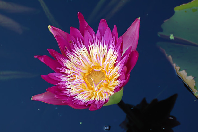 Missouri Botanical Garden, in Saint Louis, Missouri, USA - water lily 3
