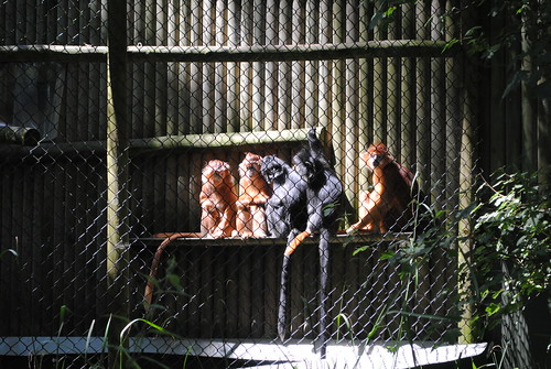 Monkeys at Port Lympne