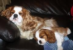Life's hard for a dog (Bogart Cat) Tags: time space l moment chaplin oadby kingcharlescavalier