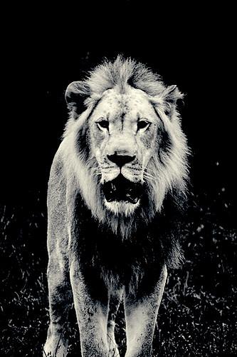B&W Lion v2
