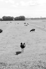 lonely_cow_B&W (madi_moon) Tags: holland netherlands field photography cow alone gene nederland lonely madi rieck fritzke