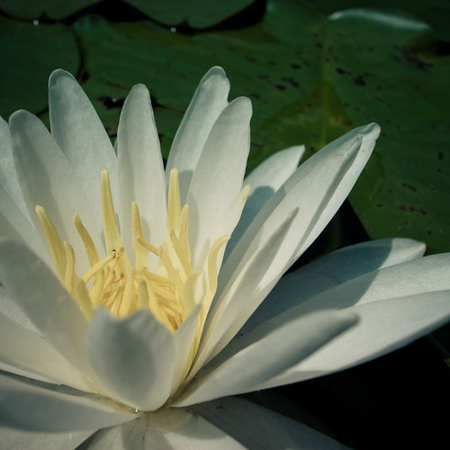 Water Lilly Pond Blossom
