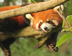 Red Panda (Su--May) Tags: 2011 chinachengdupandabase chengduredpanda