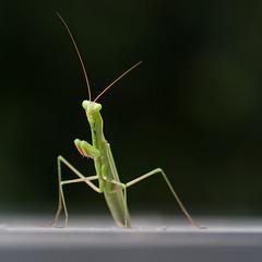 Mantis #1 (Magnus A.) Tags: delete10 delete9 mantis delete5 delete2 delete6 delete7 save3 delete8 delete3 save7 delete delete4 save save2 save4 granada save5 save6 loja
