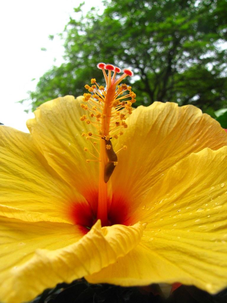 Hibiscus' pedunculus