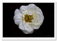White Ranunculus-5090 (Barbara J H) Tags: flower whiteflower australia ranunculus qld imbil whiteranunculus barbarajh maryvalley yabbasprings whiteranunculusflower