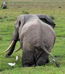 Amboseli (jotonne) Tags: africa animals mammals elafant