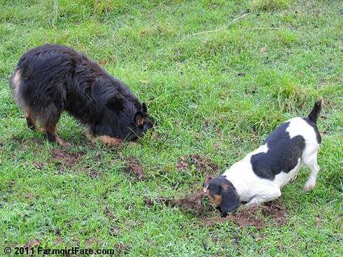 Bear and Bert on Mole Patrol - FarmgirlFare.com
