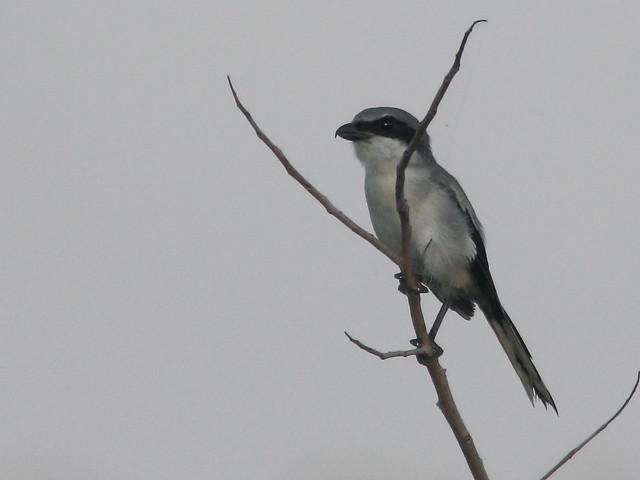 Loggerhead Shrike 20110914