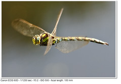 Southern Hawker (John P Norton) Tags: male green inflight dragonfly aperturepriority ef100mmf28macrousm aeshnacyanea southernhawker f32 11250sec focallength100mm canoneos60d copyright2011johnnorton spaponds