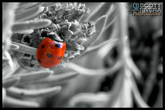 Lady In Red - Day 261 of 365 (SRivera) Tags: blackandwhite macro insect flickr ladybug livermore hdr selectivecolor canonef100mmf28lmacroisusm dailyuploadproject topazbweffects