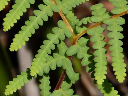 Coral Fern