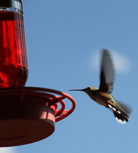 Broad-Tailed Hummer at feeder