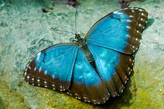 Blue Morpho (d_smets) Tags: france nature butterfly natuur papillon alsace frankrijk mariposa vlinder morphopeleides bluemorpho elzas hunawihr vlindertuin sigma105mm pentaxk7 jardinsdespapillonsexotiquesvivantes