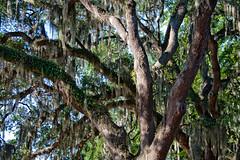 CP231 Live Oaks and Spanish Moss (listentoreason) Tags: park usa plant tree nature america canon georgia oak quercus unitedstates favorites places liveoak spanishmoss tillandsia savannah bromeliad bromeliaceae encino floweringplant angiospermae dicot forsythpark monocot fagaceae evergreenoak tillandsiausneoides liliopsida magnoliophyta magnoliopsida angiosperm peleshair quercusvirginiana virginialiveoak ef28135mmf3556isusm fagales score40 poales commelinids southernliveoak plateauoak eudicot diaphoranthema eudicotyledon plateauliveoak rosid escarpmentliveoak bayliveoak scrubliveoak