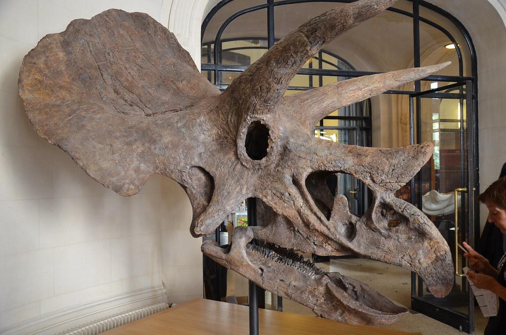 Tricératops - Vue de gauche
