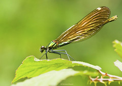 Beautiful Demoiselle in profile (Richard Beech (rdb75)) Tags: macro nature female canon insect dorset demoiselle damselfly dwt beautifuldemoiselle calopteryxvirgo dorsetwildlifetrust kingcombe sigma15028macro kingcombemeadows richardbeech rdb75