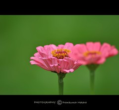 Happy Long Weekend! (Kuttan Bangalore) Tags: flower macro green nature nikon zinnia lalbagh naturesfinest tailedjay fantasticflower impressedbeauty d3000 nikond3000