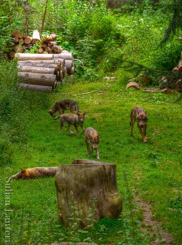 Visite des loups au parc Alpha 6037741128_5c451be26e