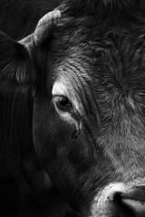 Cow (Johann Ingi) Tags: bw eye canon hair nose cow details sharp horn 400d johanningi