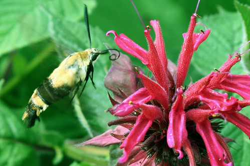 hummingbird moth on monarda