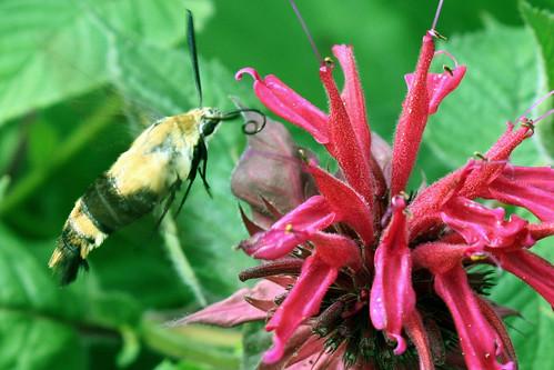 hummingbird moth on monarda
