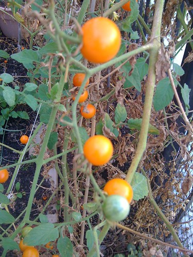 Yellow Cherry Tomatoes