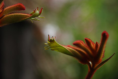 Kangaroo Paws (John Lindesay Small) Tags: red plant flower yellow bloom colourful twisted yellowred australiannativeflower kangaroopaws miniaturekangaroopaw joeypaws anigoanthos varietyjoecalypso podscolour