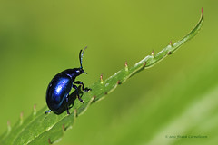 Cobalt Blue [Explored] (frankcorn) Tags: macro nature animal animals fauna bug insect nikon insects bugs dsrl explored d700 explorewinnersoftheworld