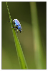 Hoplie_bleue (Fabrice_B) Tags: macro nature nikon bleu touraine hoplie