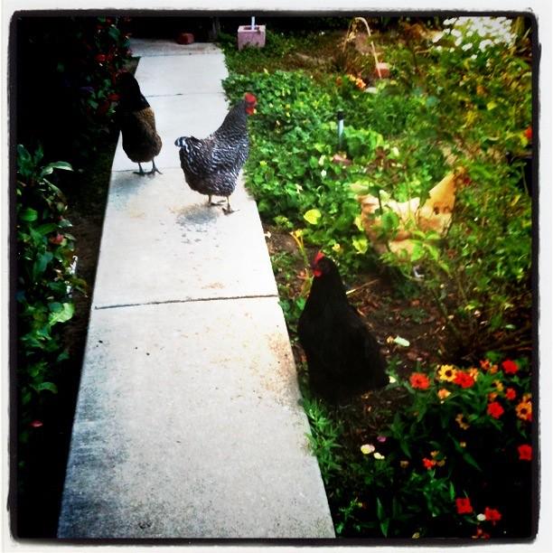 24 wk 01 chickens