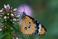 Monarc (le cabri) Tags: flower macro closeup butterfly nikon alone dof bokeh papillon mm 105 cabri monarque d90 monarc
