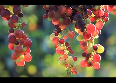 Wishful Grapes of Erbaluce (! .  Angela Lobefaro . !) Tags: light italy sun cemetery leaves lago back vineyard alley italia wine bokeh vine winery piemonte cielo grapes 100 om chateau uva piedmont zuiko f28 vigne chateaux luminescence backlighting vino wein trauben cimitero invinoveritas erbaluce canavese vitigno grappoli angiereal zimone ivreaagosto2011