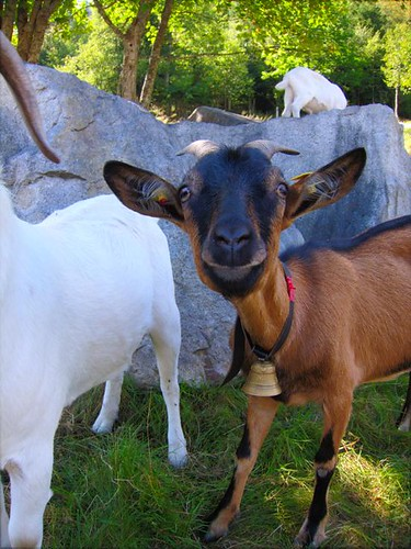 Looking at a Goat by Danalynn C