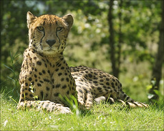 Cheetah (Foto Martien) Tags: africa wild holland netherlands dutch animal speed cat zoo kat asia nederland fast safari bigcat afrika cheetah speedy wildcat chita cheeta safaripark noordbrabant dierentuin azi gepard dierenpark hilvarenbeek acinonyxjubatus guepardo safariparkbeeksebergen gupard jachtluipaard ghepardo a550 fastestlandanimal martienuiterweerd martienarnhem sony70300gssmlens sonyalpha550 mygearandme mygearandmepremium mygearandmebronze mygearandmesilver mygearandmegold mygearandmeplatinum mygearandmediamond ringexcellence fotomartien snelstelanddier