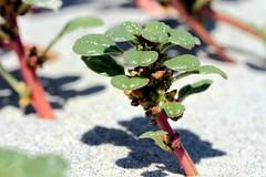 IMG_5820 (NatureServe) Tags: amaranthus amaranth farrockaway breezypoint natureserve goldmansachs forttilden fttilden communityteamworks nynhp newyorknaturalheritageprogram seabeachamaranth amaranthuspumilus