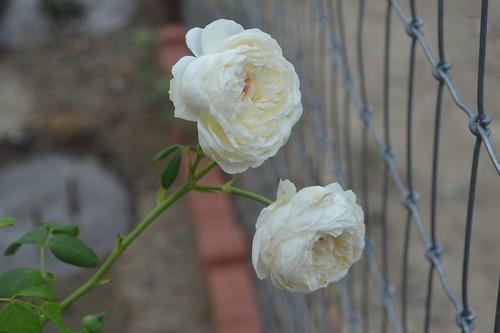 Clair Austin roses (1)