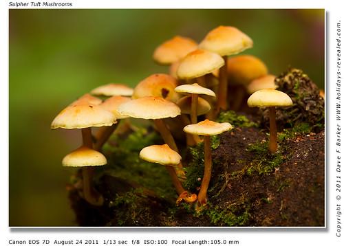 Sulphur Tuft Mushrooms Duxbury Park Chorley Lancashire